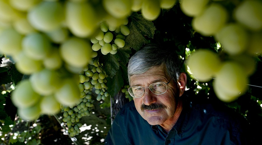 """Geneticist David Cain with the Cotton Candy grape at International Fruit Genetics. Cain spearheads the Delano, California, facility, seeking varieties that pack enough sweetness to capture consumer tastes. """"We're competing against candy bars and cookies,"""" he said."""