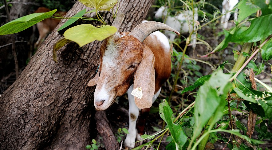 'Eco-goats' begin clearing land adjacent to the historic Congressional Cemetery, Aug. 7, 2013 in Washington, DC. Goats are being used to clear a 1.6-acre plot of land covered with vines, poison ivy and other dense vegetation.