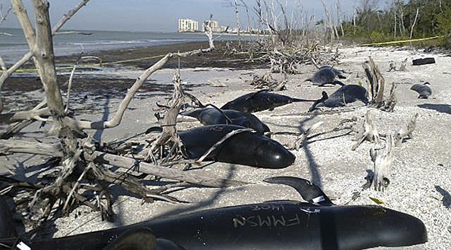In this Jan. 24, 2014, photo provided by the U.S. National Oceanic and Atmospheric Administration (NOAA), some of the 25 dead pilot whales that were found on shore at Marco Island, Fla., are shown.