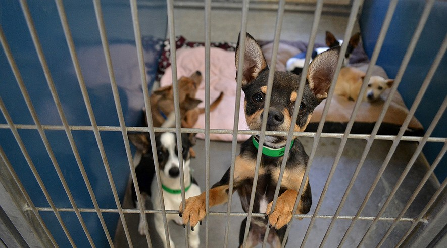 Chihuahua mix dogs wait in an enclosure at a Maricopa County Animal Care and Control shelter in Arizona.
