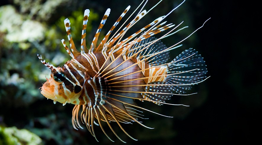 A lionfish in a picture taken at the Zoo Schönbrunn, Vienna, Austria.
