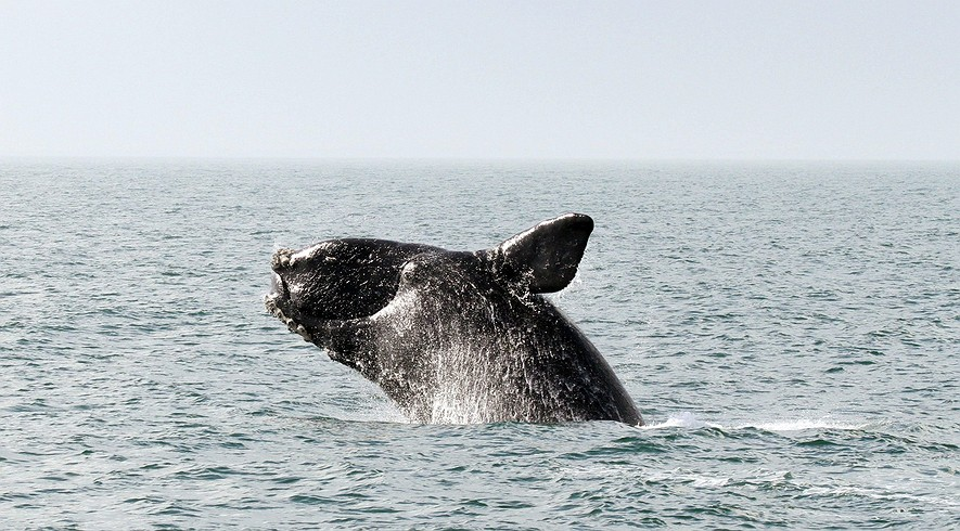 Pictured is a North Atlantic right whale (Eubalaena glacialis).