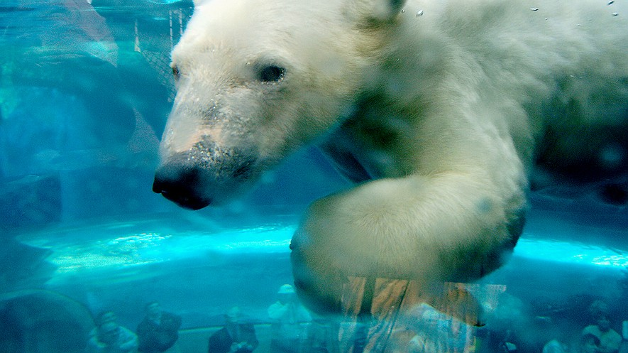 A polar bear swims underwater in an observation tunnel of an exhibit at the Pittsburgh Zoo & PPG Aquarium in 2006.