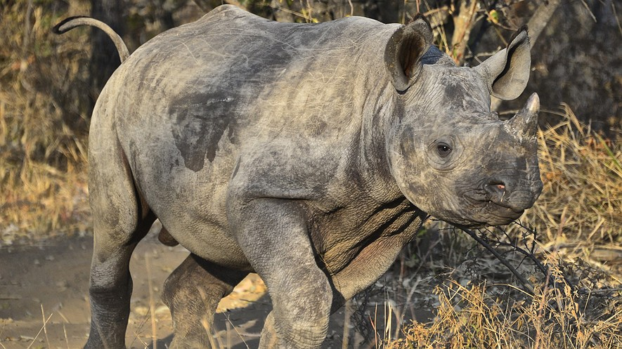In this photo taken June 28, 2014, and supplied by a board director of The Rhino Orphanage, a baby rhino runs in the bush at the facility, which is near a lodge at the Entabeni Safari Conservancy in the northern part of South Africa.