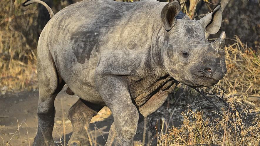 En esta foto del 28 de junio del 2014, suministrada por el director de la junta del Orfanato de Rinocerontes, un bebé rinoceronte corre libremente en las instalaciones cerca del Entabeni Safari Conservancy al norte de Sudáfrica.