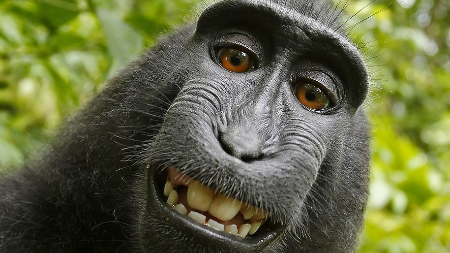 A macaque monkey named Naruto took this selfie in 2011 with a camera that was positioned by British nature photographer David Slater on the Indonesian island of Sulawesi.