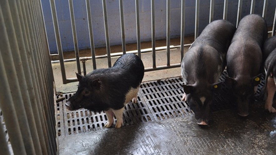 A BGI gene-edited micro pig (left) stands next to some Bama mini pigs that are conventionally used for scientific research.