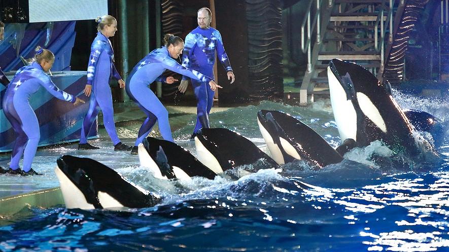 Los entrenadores de orcas dirigen a las ballenas durante una actuación de noche en SeaWorld, San Diego.  Las orcas cautivas están en el centro de un debate sobre el  bienestar de animales.