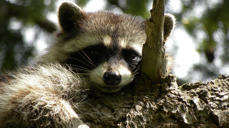 This raccoon is not afraid of predators — and that's a bad thing, says scientist Justin Suraci. Because the largest predators are dying out and no longer a threat, smaller animals feel more secure and nature is thrown off-balance.