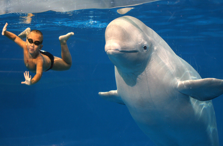 Newsela | Beluga whales' deep-diving feeding patterns studied by ...