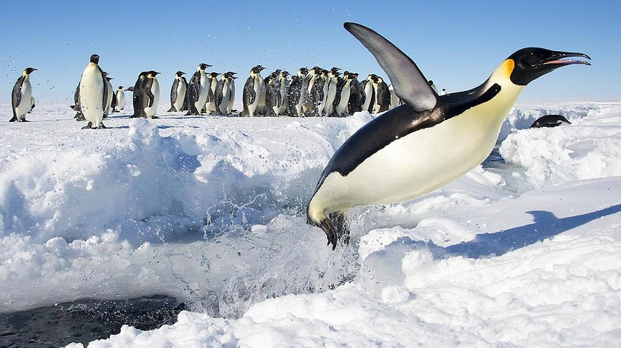 An emperor penguin jumps out of the icy water in Antarctica. Scientists are meeting in Tasmania to work out a plan to find million-year-old ice in Antarctica. The ice could help them learn more about the air on Earth.