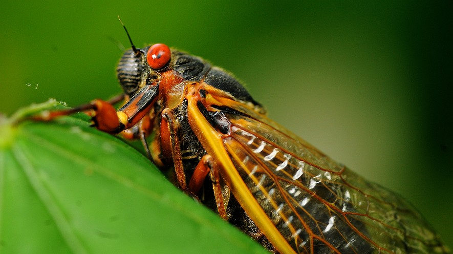 A 17-year cicada is shown in this May 16, 2013, file photo. The cicadas are coming again to big chunks of Ohio and West Virginia.