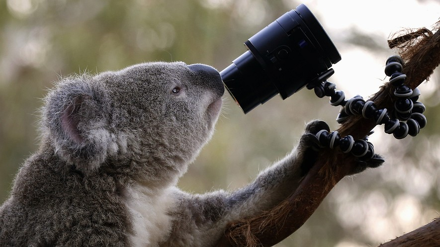 An Australian Koala looks at a camera as it sits atop a branch in its enclosure at Wild Life Sydney Zoo in Australia, April 3, 2014.