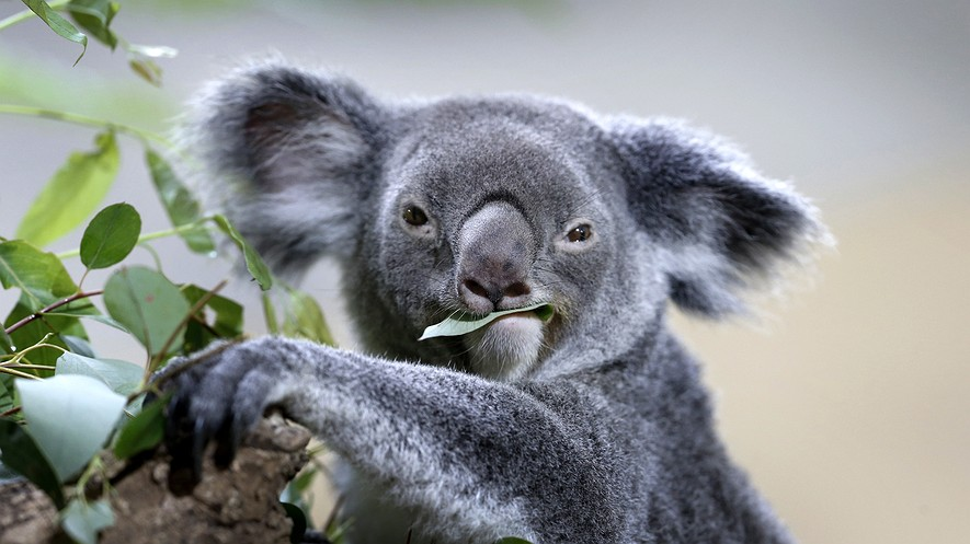 A koala feeds on eucalyptus leaves in its new enclosure at the Singapore Zoo, May 20, 2015, in Singapore.