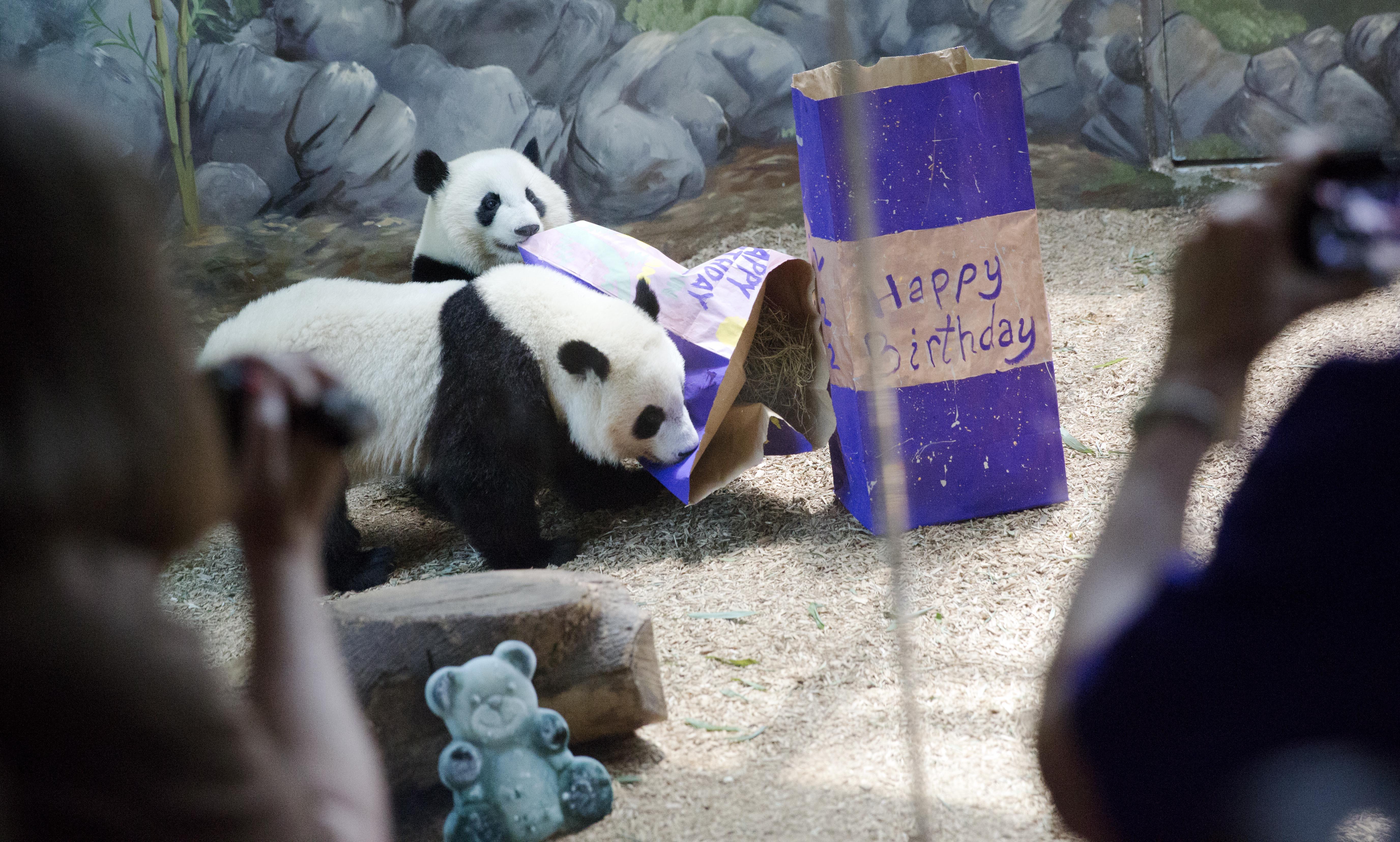 american born panda twins slow in adapting to culture