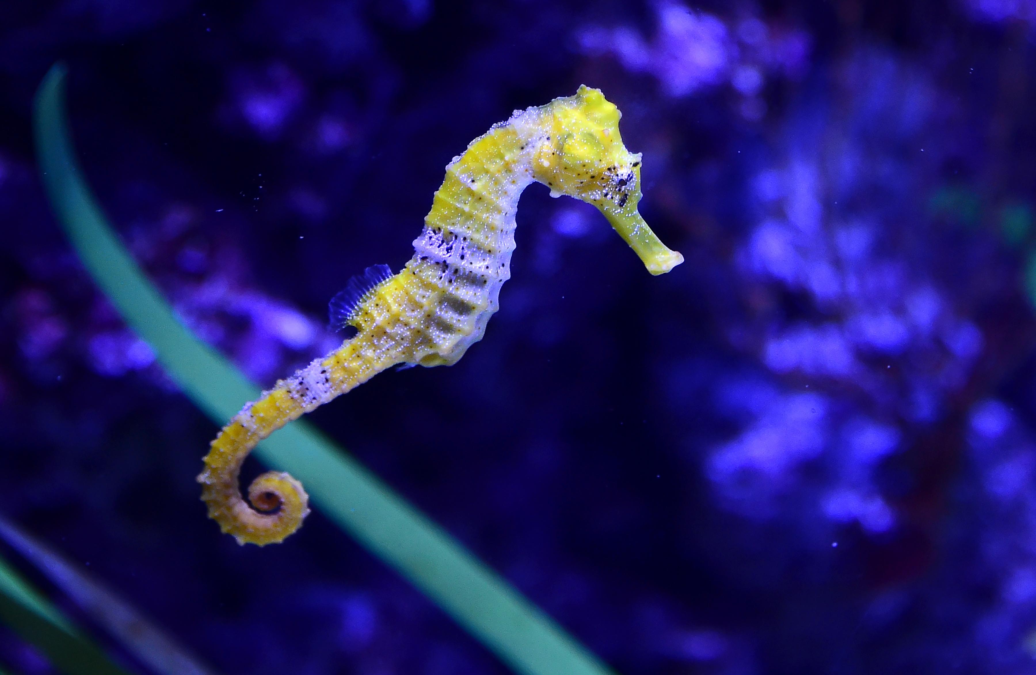 Newsela | Undersea mystery: Seahorse genetic study sheds ...