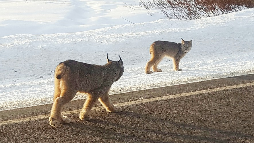 This December 15, 2016, photo provided by Dontje Hildebrand shows two lynx walking along a highway in Molas Pass outside of Silverton, Colorado. Only about 50 to 250 lynx are believed to be living in the wild in Colorado, and sightings are rare. They were native to Colorado but virtually disappeared from the state by the 1970s because of hunting, poisoning and development.