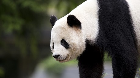Panda cub Bao Bao roams in an enclosure at the Smithsonian's National Zoo in Washington, D.C., September 25, 2015. Bao Bao departed the zoo on February 21, 2017, for a one-way flight to China, where the 3-year-old will eventually join a panda breeding program. AP Photo