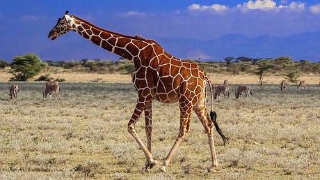 Several reticulated giraffe pictured at a reserve. Photo by: Wikimedia Commons