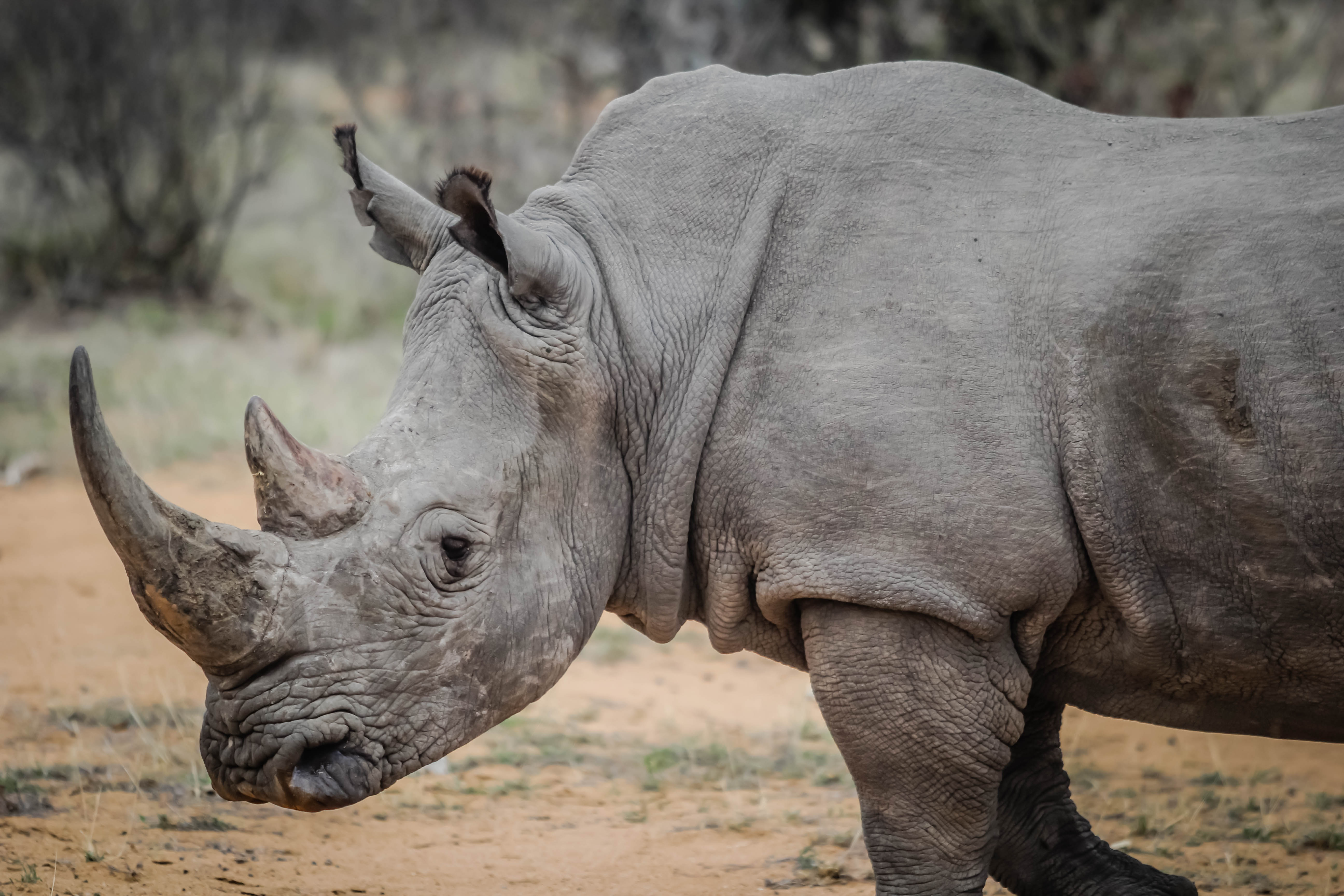 articles on rhino poaching