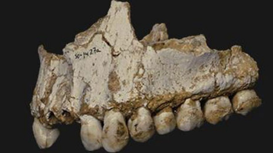 Una muestra de cálculo dental en el último molar (derecha) de la mandíbula superior de este Neandertal perteneciente a la cueva El Sidron en España. Este individuo estaba comiendo chopo, una fuente de aspirina y también vegetación mohosa que contenía un antibiótico natural. Foto: Paleoanthropology Group MNCN-CSIC