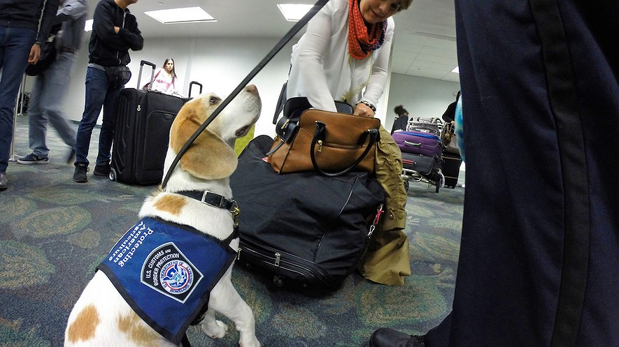 Baymon, the K-9 partner of an agriculture specialist with the U.S. Customs and Border Patrol, finds prohibited pieces of cut sugarcane in a duffel bag at Fort Lauderdale-Hollywood International Airport in Florida, February 15, 2017. Photo: Amy Beth Bennett/Sun Sentinel/TNS