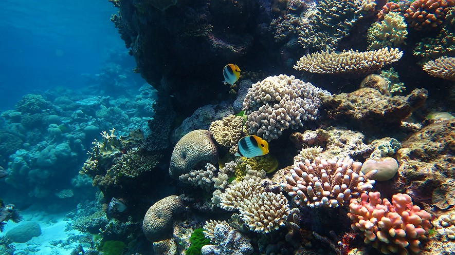 Two Pacific double-saddle butterflyfish among a backdrop of corals at Flynn Reef, Tennis Courts dive site. It is a part of the Great Barrier Reef Marine Park in Australia. Photo: Wise Hok Wai Lum/Wikimedia Commons