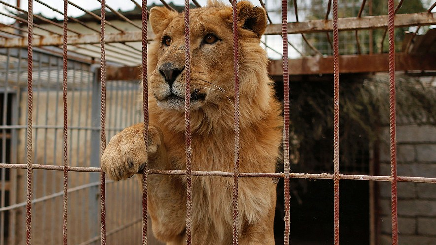 Simba, a lion, is seen in a cage at Muntazah al-Nour zoo in Mosul, Iraq, as the international animal welfare charity Four Paws tries to evacuate the animals left at the zoo on March 28, 2017. Photo: Ahmad Gharabli/AFP/Getty Images