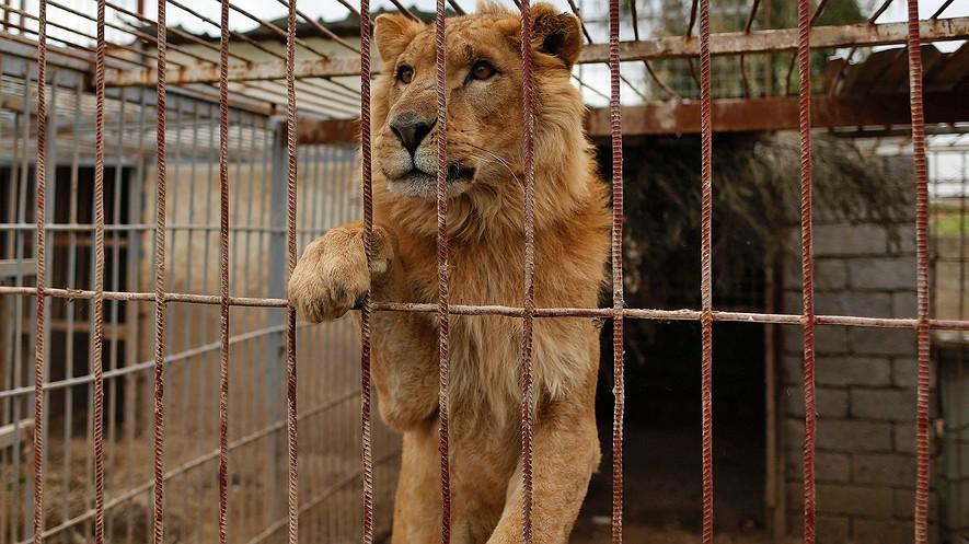 El león Simba en una jaula en el zoológico de Muntazah al-Nour en Mosul, Irak, mientras que la organización benéfica internacional Four Paws trata de evacuar a los animales que quedan en el zoológico el 28 de marzo de 2017\. Fotografía: Ahmad Gharabli/AFP/Getty Images