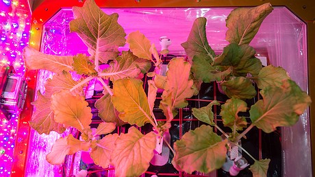 Chinese cabbage leaves are shown aboard the International Space Station. Photo from NASA.gov