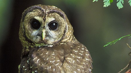 """The northern spotted owl lives in forests of the Pacific Northwest. In 2012, the government set aside a huge """"critical habitat"""" area for them, but it is now challenged by a new court decision. Photo by: John and Karen Hollingsworth/USFWS."""