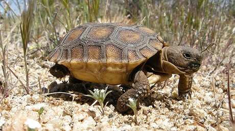 A baby tortoise walks in Joshua Tree National Park in California. Today the desert tortoise faces a variety of threats: off-road vehicles, the illegal pet trade and, now, an influx of deadly ravens. Photo: NPS/Daniel Elsbrock via Flickr