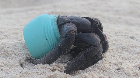 One of the hundreds of crabs that now make their homes out of the plastic debris that washes up on Henderson Island in the Pacific Ocean. This particular item is an Avon cosmetics jar. Photo: Jennifer Lavers via PBS NewsHour