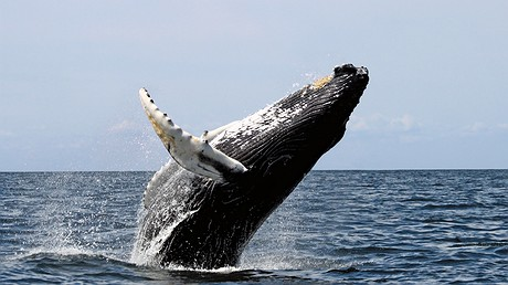 A humpback whale, a type of baleen whale, breaches. Photo by: Stellwagen Bank National Marine Sanctuary/Wikimedia Commons
