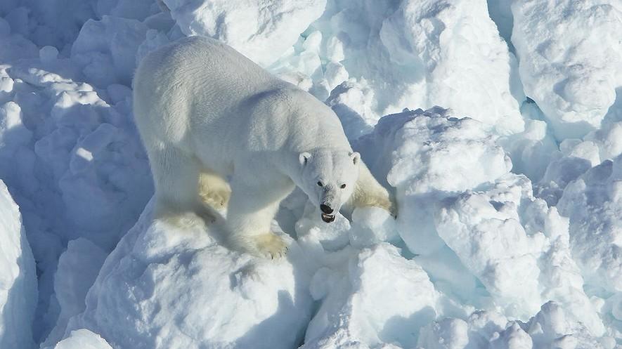 En esta foto del 8 de abril de 2011, proporcionada por el Servicio Geológico de los Estados Unidos, un oso polar camina sobre escombros de hielo en la parte de Alaska del mar de Beaufort meridional. El rápido calentamiento global ha aumentado la velocidad del hielo marino que se deriva de las costas del norte de Alaska y los osos polares están pagando un precio, según un nuevo estudio federal. Foto de: Mike Lockhart / USGS vía AP