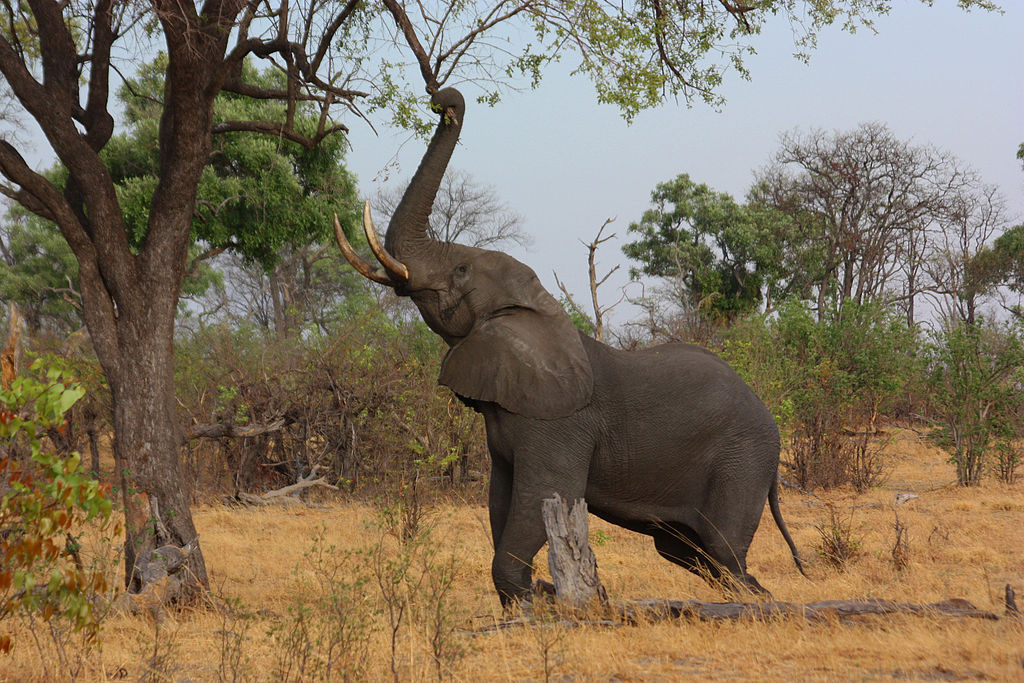 Newsela - Endangered Species: The African elephant