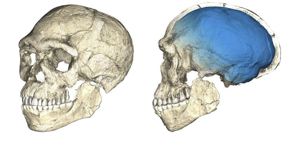 Two updated views of the reconstruction of the earliest known Homo sapiens fossils from Jebel Irhoud in Morocco. The images are based on computed tomographic (CT) scans of multiple fossils. Photo from Philipp Gunz at the Max Planck Institute for Evolutionary Anthropology. [click to enlarge]