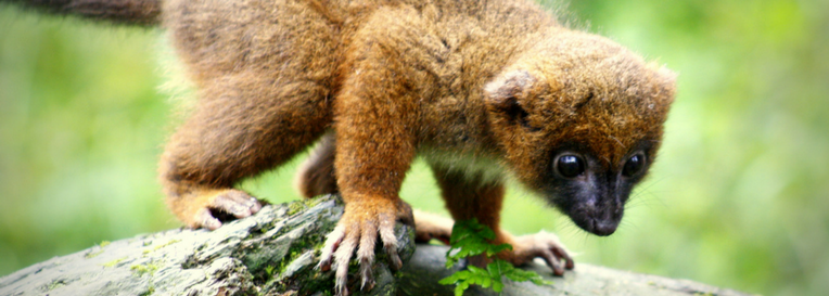 The red-bellied lemur is not easy to spot in the forests of Madagascar. New technology is helping. Photo: Wikimedia.
