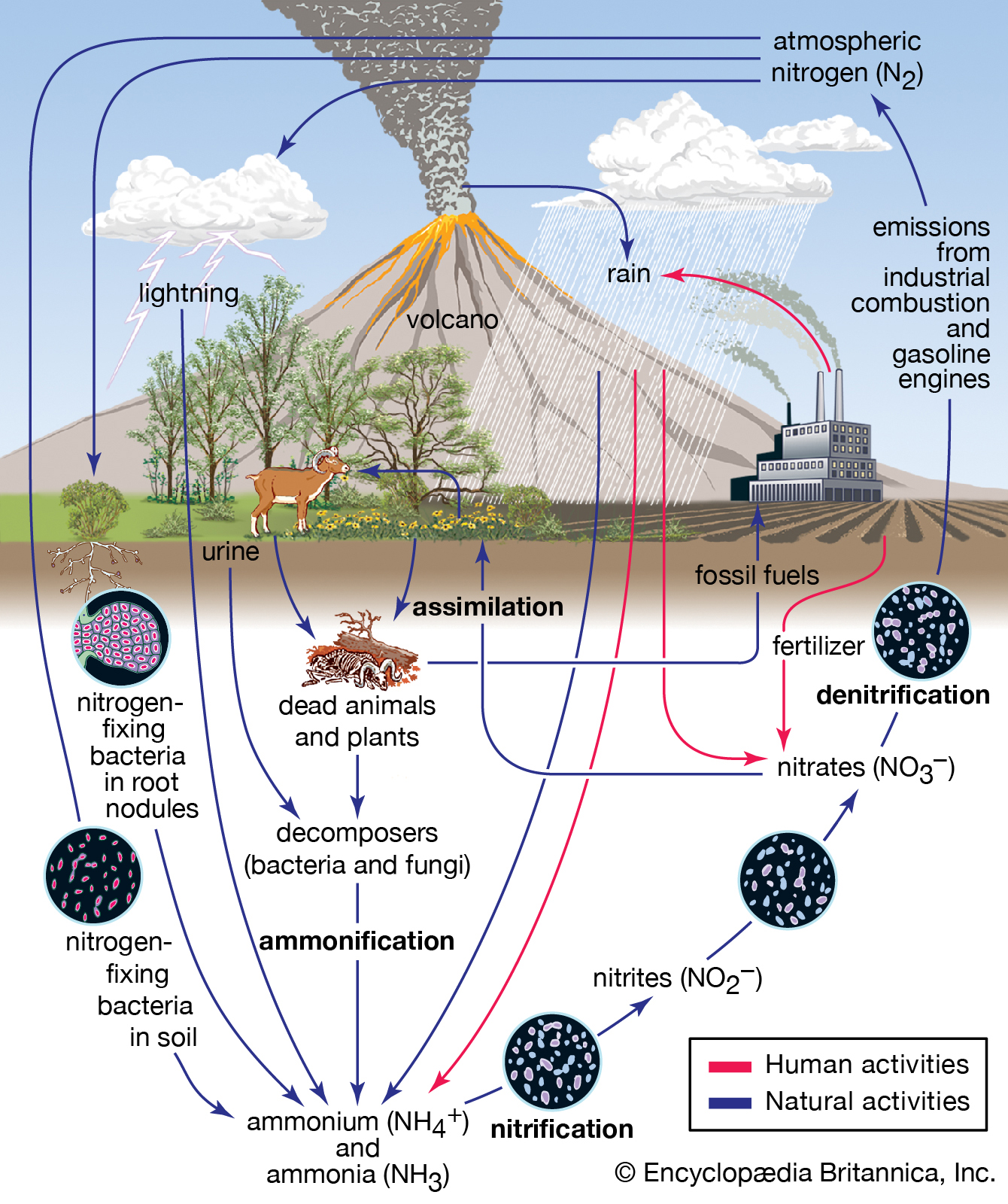 Newsela the biosphere and nutrient cycles overview of the nitrogen cycle image encyclopaedia britannica click to pooptronica Images