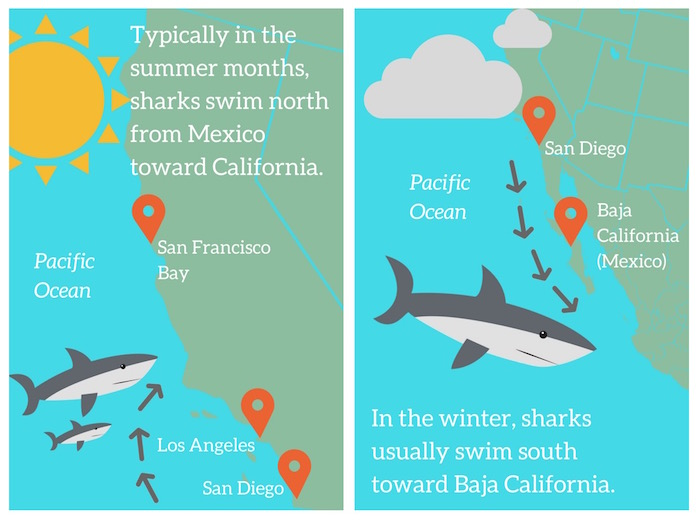 Scientists are not sure why great white sharks got to California early this year. Image: Newsela Staff. [click to expand]