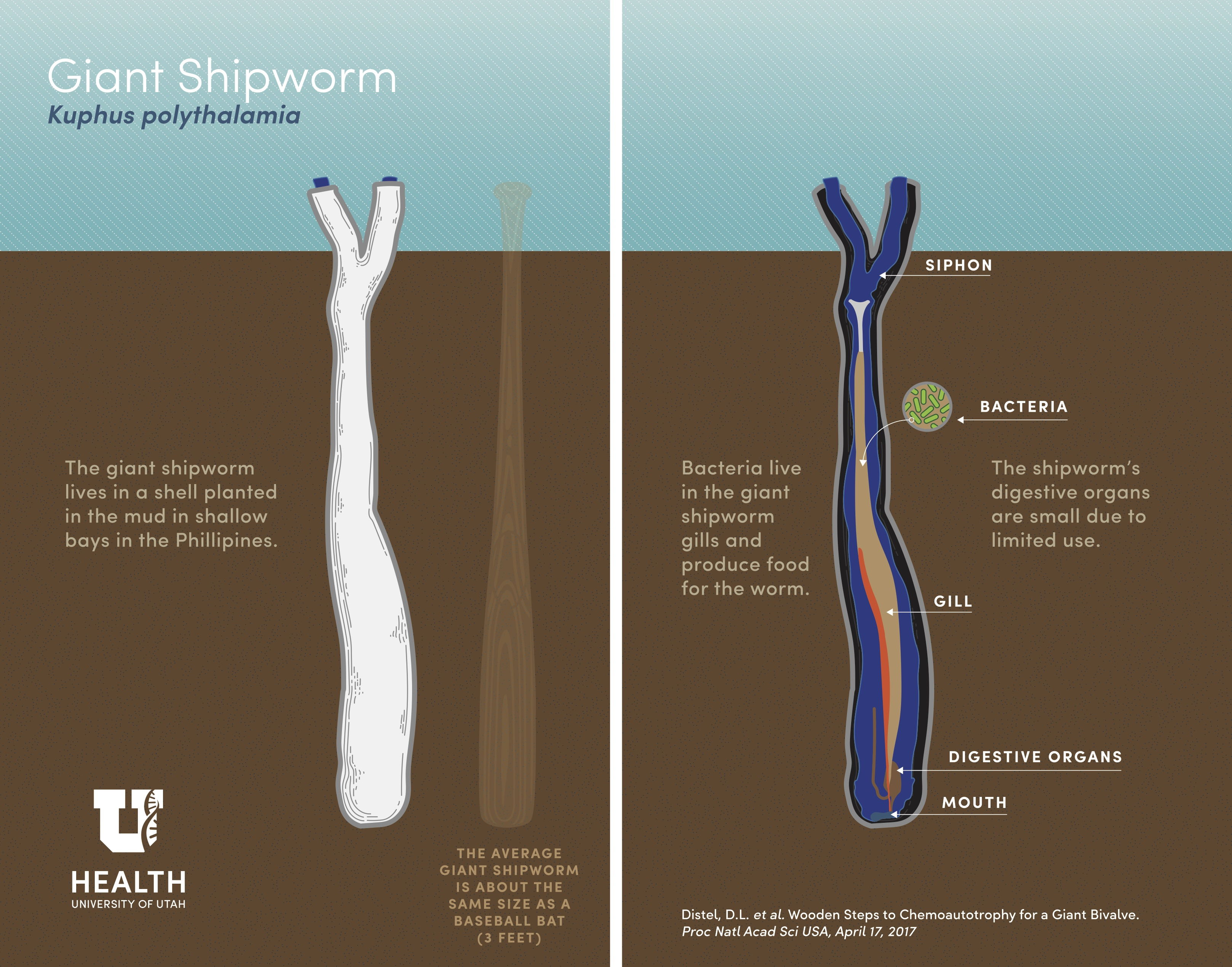 The giant shipworm is about the size of a baseball bat. Image: University of Utah/Washington Post. [click to expand]
