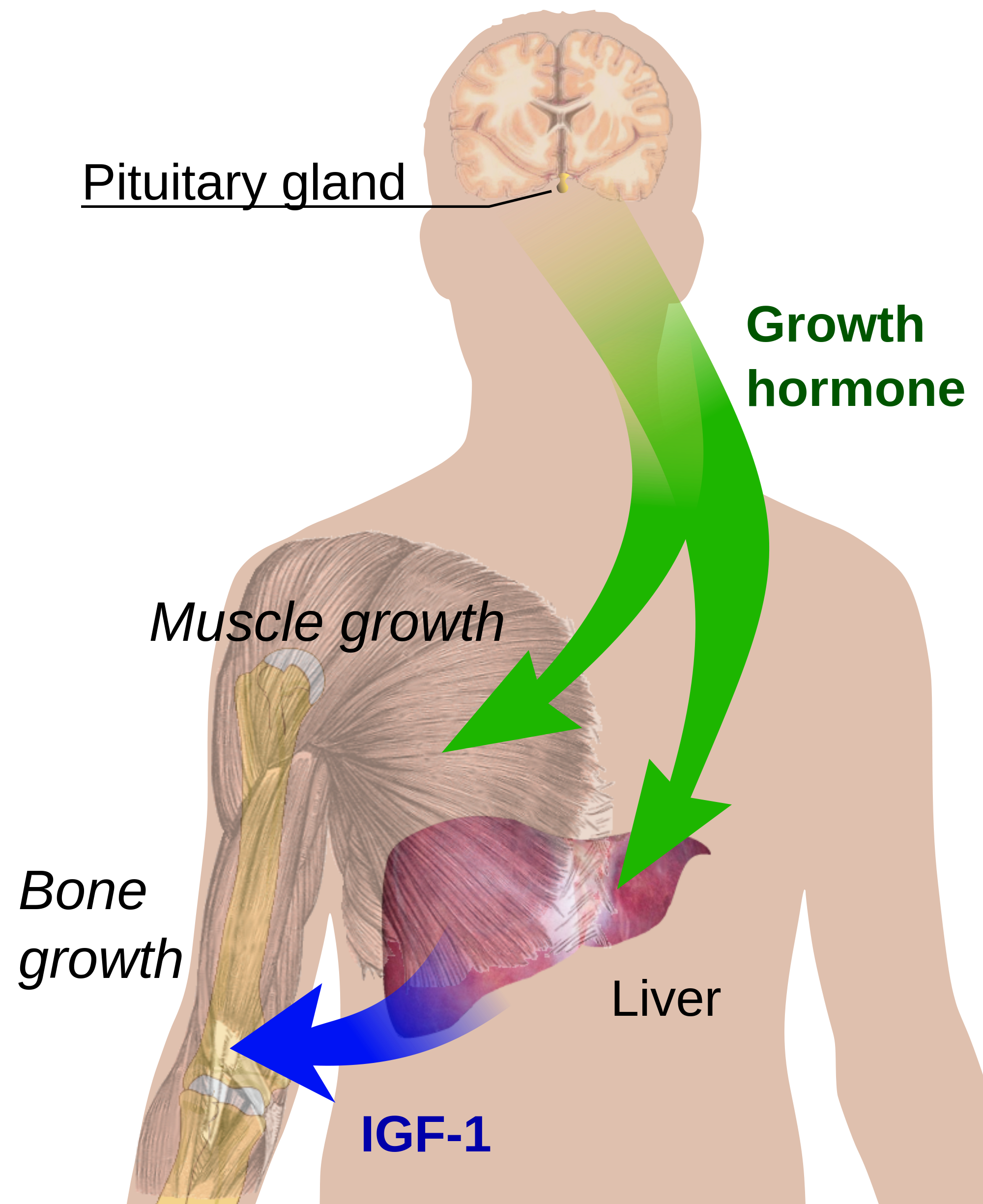 Newsela what is the endocrine system endocrine growth regulation image from public domain click to enlarge ccuart Gallery